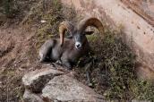 Mouflon dans le Grand Canyon