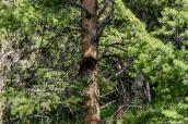 Ourson grimpant à un arbre dans Yellowstone National Park, Wyoming