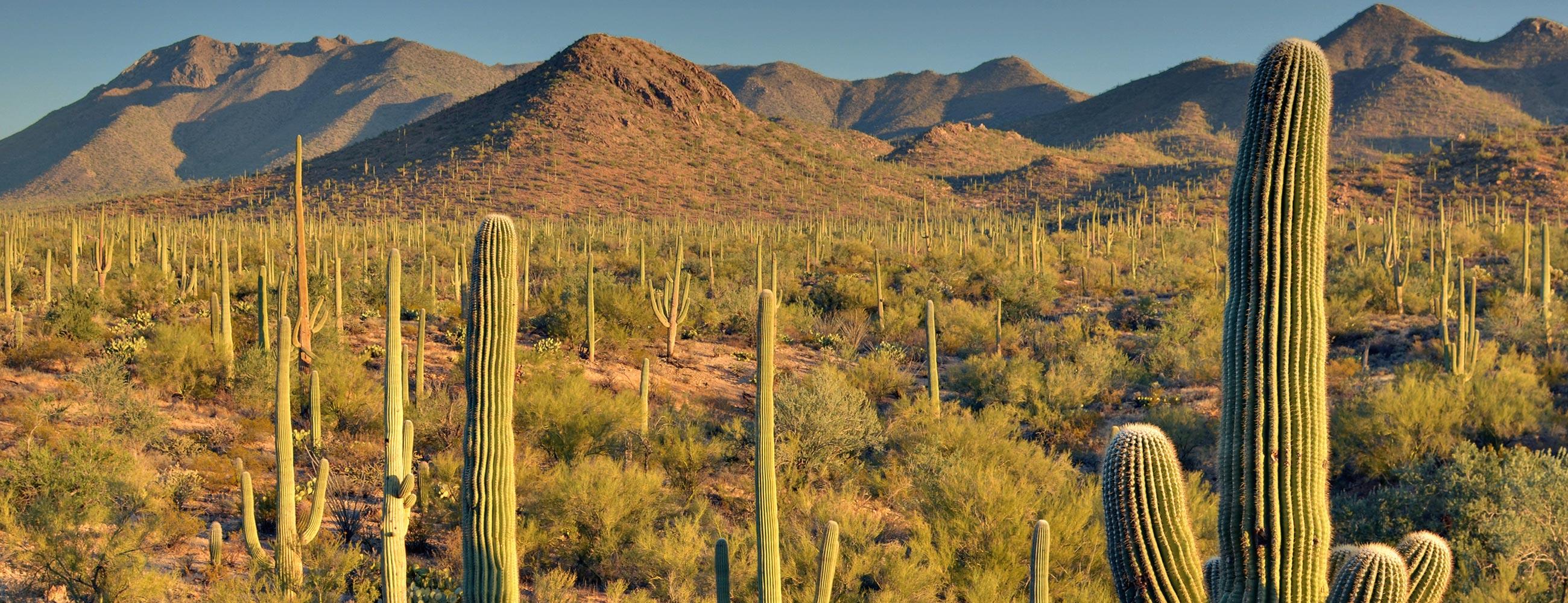 Vue sur les cactus de Saguaro National Park, dans le sud de l'Arizona