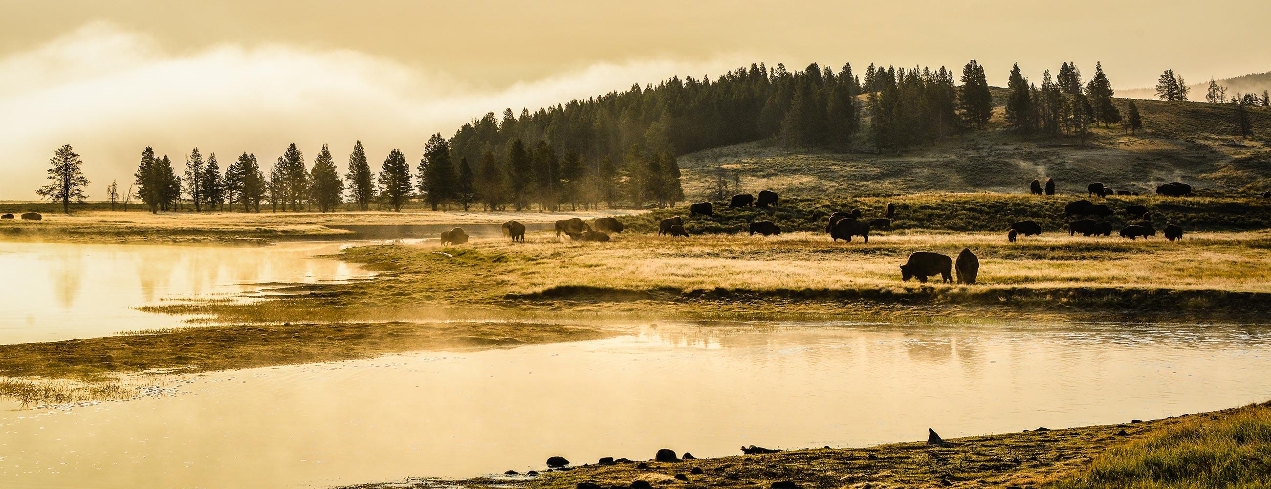 Troupeau de bisons au lever du soleil dans le parc de Yellowstone, Wyoming