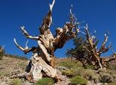 Les plus vieux arbres du monde d