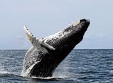 Baleine au large de Monterey, Californie