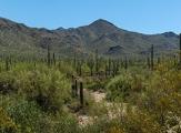 Vue sur les cactus de Saguaro National Park, Arizona
