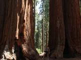 Sequoias géants dans Sequoia National Park, Californie