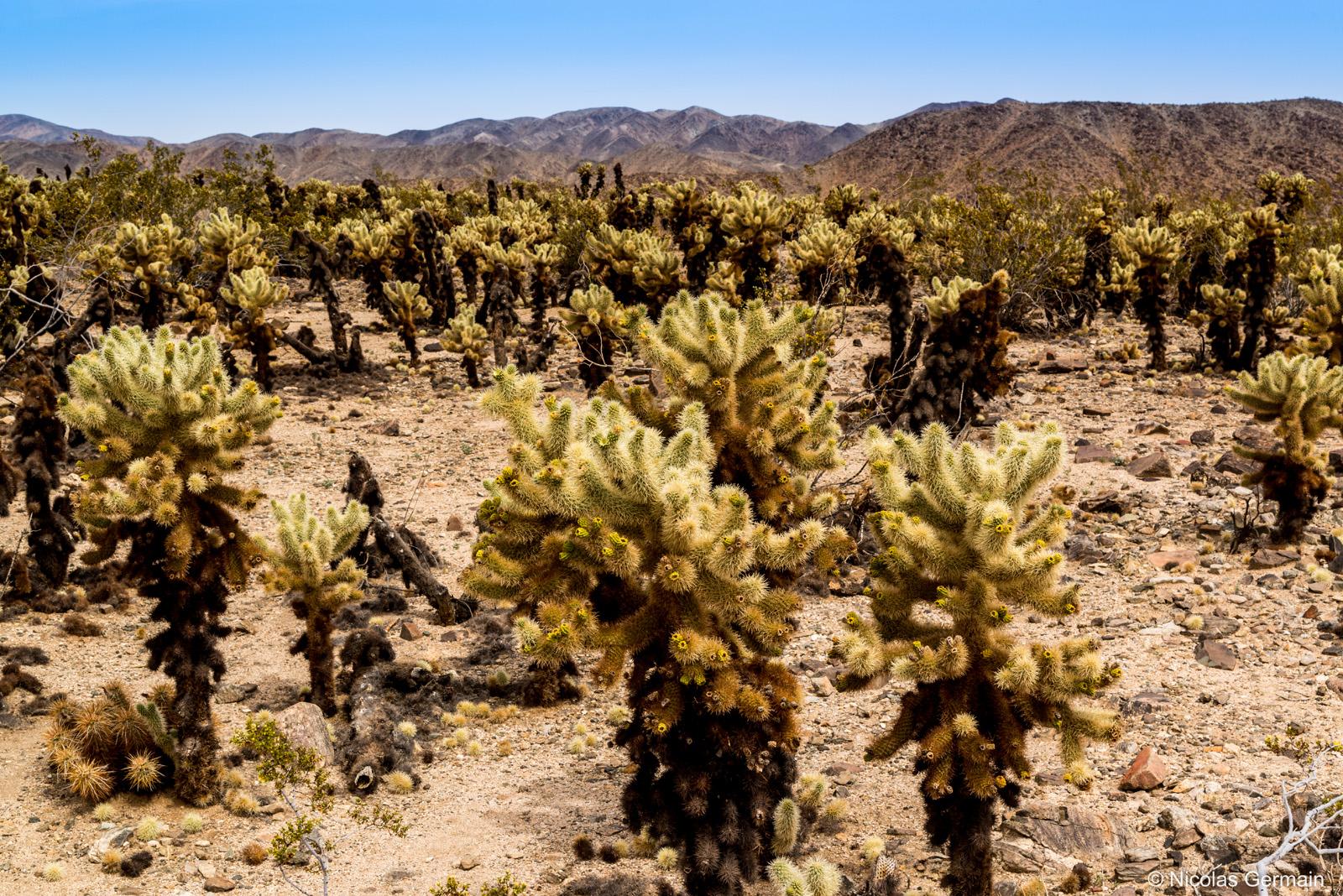 Cholla Cactus à perte de vue dans Joshua Tree National Park
