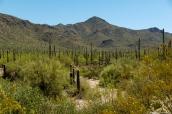 Saguaro par milliers dans la vallée et sur les flancs des montagnes
