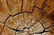 Coupe transversale d'un tronc d'un pin Bristlecone dans Ancient Bristlecone Pine Forest, Californie