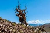 Malgré son apparence d'arbre mort, ce pin Bristlecone est bien vivant et vieux de quelques milliers d'années