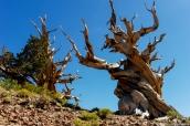 Tronc et branche noueuse d'un pin Bristlecone dans Ancient Bristlecone Pine Forest, Californie