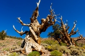 Deux pins Bristlecon sur le chamin Discovery Trail dans Ancient Bristlecone Pine Forest, Californie