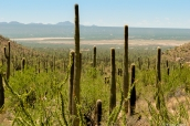 Les saguaro poussent jusque dans la plaine où se trouvent des habitations