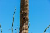 Cactus saguaro au visage humain dans Saguaro National Park, Arizona