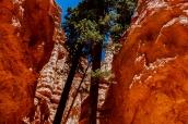 Les arbres de Bryce Canyon atteignent plusieurs dizaines de mètres entre les parois rocheuses