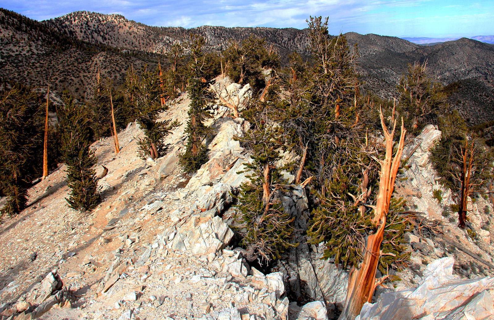 ancient-bristlecone-pine-forest-methuselah