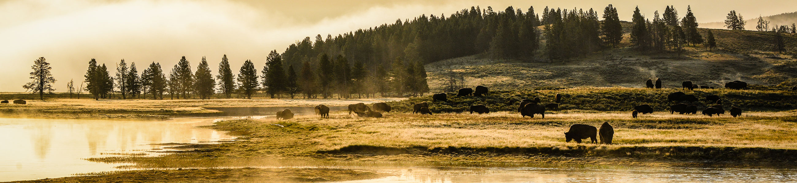 Bisons dans Yellowstone