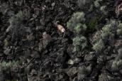 Mouflons dans le fond des gorges du Rio Grande, Nouveau-Mexique