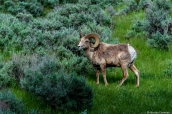 Mouflon dans le nord de Yellowstone National Park, Wyoming