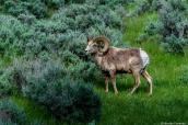Mouflon dans le nord de Yellowstone National Park, Wyoming