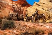 Troupeau de mouflons perchés sur un rocher dans Valley of Fire State Park, Nevada