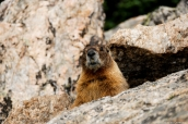 Marmotte dans Rocky Mountain National Park, Colorado
