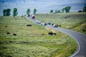 Des bisons sur la route bloquent les voitures dans le nord de Yellowstone National Park, Wyoming