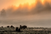 Brume matinale et bisons dans le froid de Yellowstone National Park, Wyoming