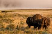 Bisons broutant dans la plaine au lever du soleil dans Yellowstone National Park, Wyoming
