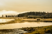 Bisons au lever du soleil dans Yellowstone National Park, Wyoming