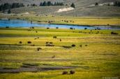 Troupeau de bisons au milieu de la plaine herbeuse où coule la rivière Yellowstone, Wyoming