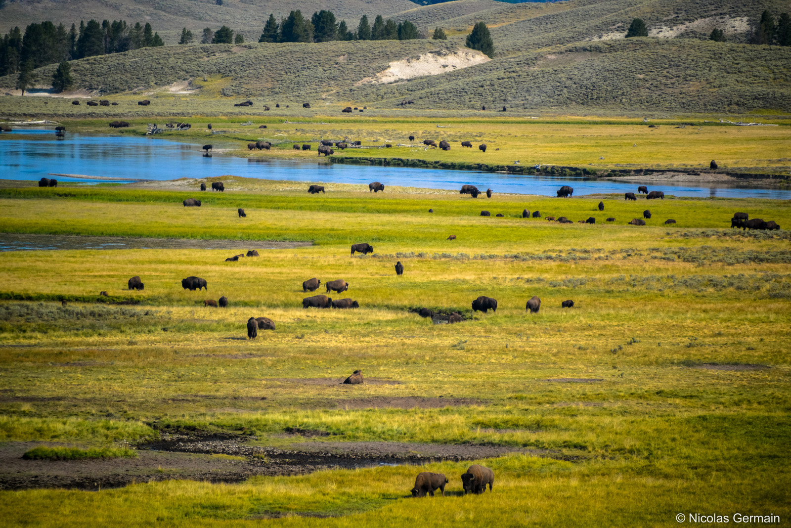 yellowstone-troupeau-bisons