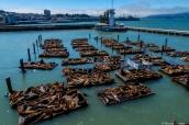 Des centaines d'otaries ont élu domicile au Pier 39 dans le quartier très touristique de Fisherman's Wharf à San Francisco
