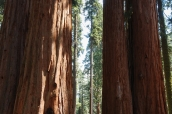 Séquoias de taille démesurée dans Sequoia National Park, Californie