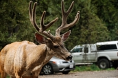 Cerf mulet au milieu d'un parking dans Yosemite National Park, Californie