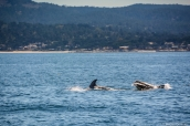 Dauphins Risso dans la baie de Monterey, Californie