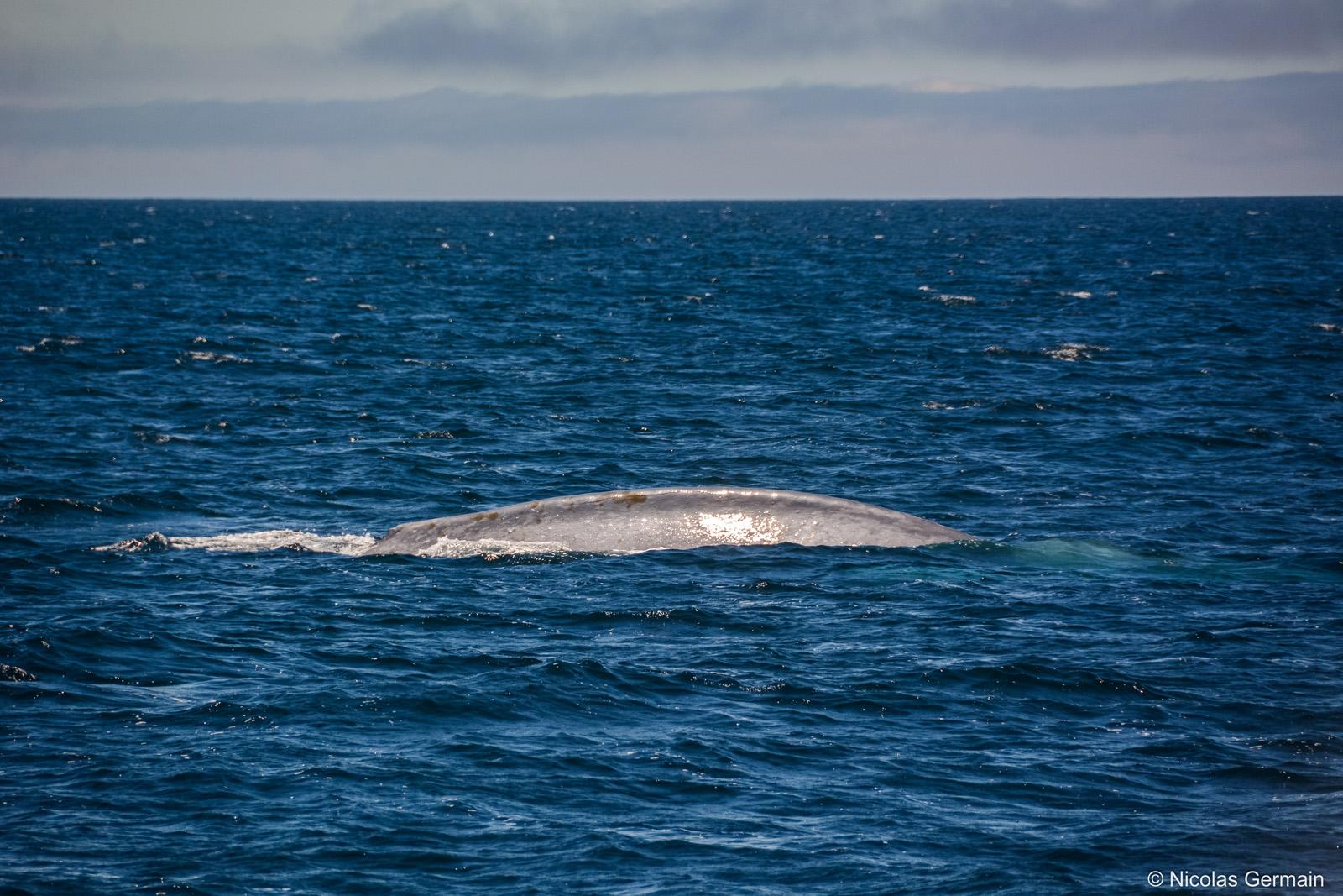 Baleine bleue (blue whale) dans la baie de Monterey, Californie