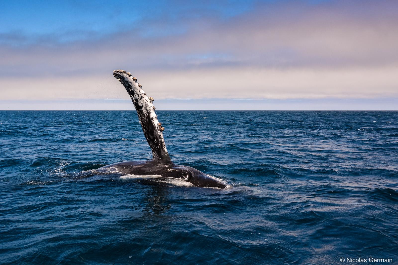 Baleine à bosse (humpback whale) dans la baie de Monterey, Californie