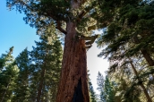 Grizzly Giant, le plus gros sequoia de Yosemite dans Mariposa Grove