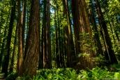 Forêt de séquoias et pins de Stout Grove, Jedediah Smith Redwoods State Park