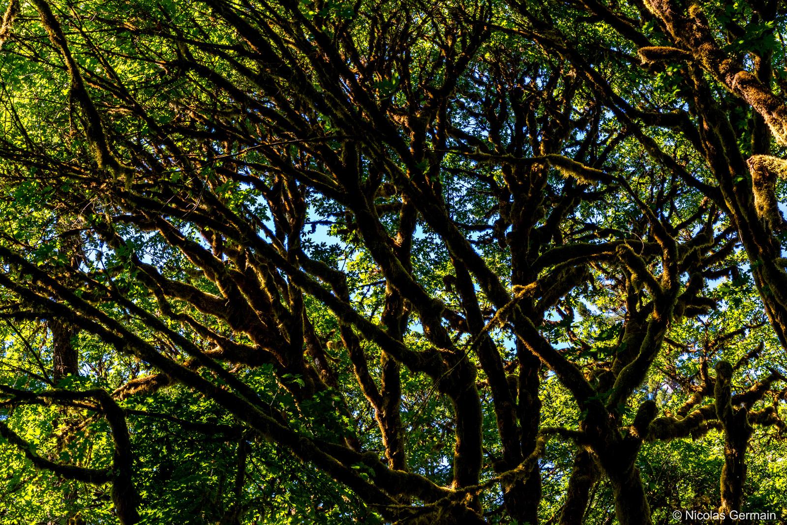 D'autres arbres, comme les érables (maple tree) recouverts de lichen, sont visibles à Tall Trees Grove, Redwood National Park