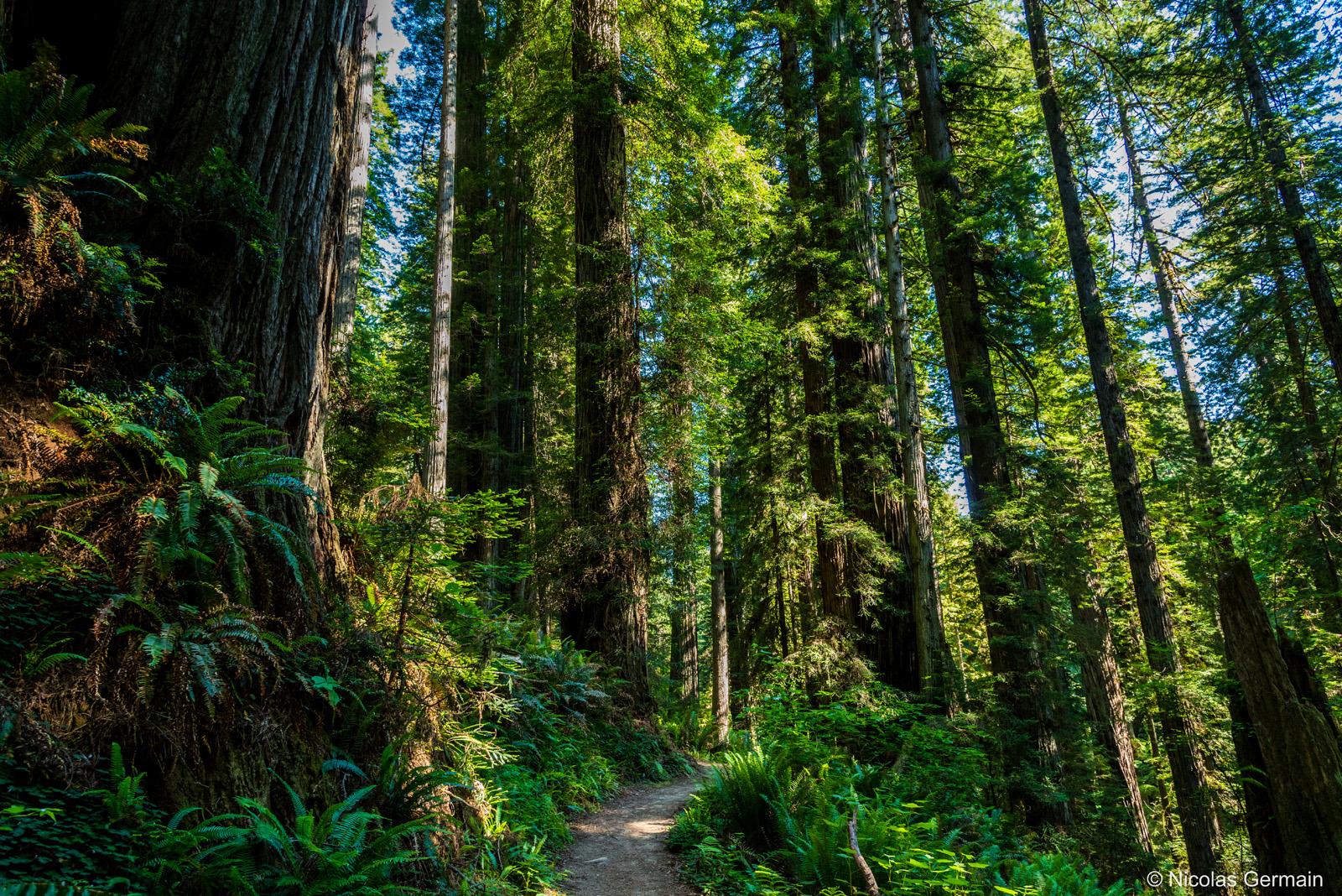 Séquoias de Prairie Creek Redwoods State Park sur Miners' Ridge Trail