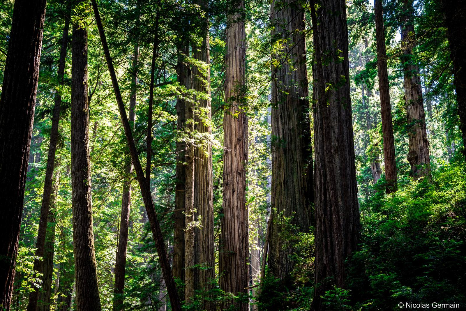 Atmosphère envoutante dans la forêt de séquoias de Prairie Creek Redwoods State Park sur James Irvine Trail