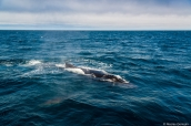Baleine à bosse près de Monterey, Californie