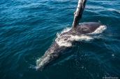 Baleine à bosse curieuse jouant près du bateau dans la baie de Monterey, Californie
