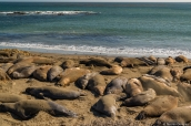 Colonie d'éléphants de mer (elephant seal) sur la côte pacifique de Californie au sud de Big Sur