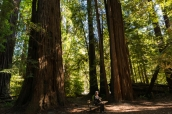 Un banc permet de se relaxer au milieu des séquoias géants de Tall Trees Grove, Redwood National Park
