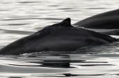 Baleines à bosse dans la baie de Monterey, Californie