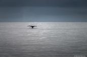Baleine à bosse plongeant dans l'océan et ne laissant apparaître que sa queue dans la baie de Monterey, Californie
