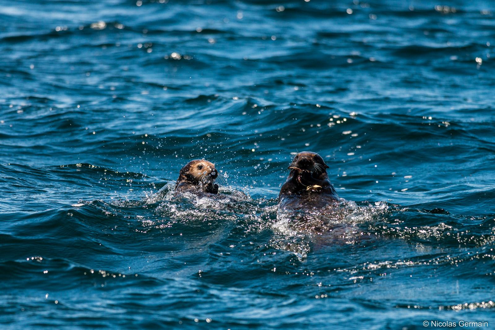 Deux loutres très joueuses dans la baie de Monterey, Californie