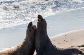 Séance d'intimidation entre deux éléphants de mer sur la côte californienne au sud de Big Sur