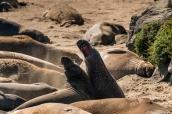 Deux éléphants de mer sur la côte pacifique au sud de Big Sur cherchent à marquer leur territoire, Californie